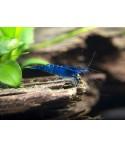 Νeocaridina davidi blue velvet